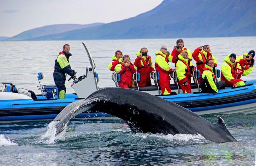 Pozorovanie veľrýb Island