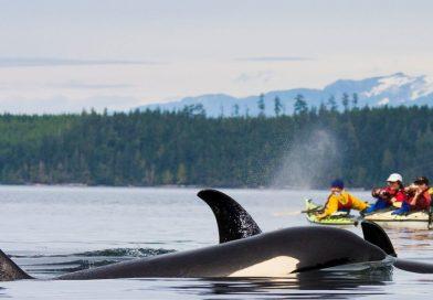 Pozorovanie veľrýb