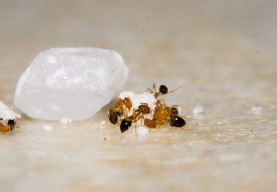 Ako na mravce v domácnosti