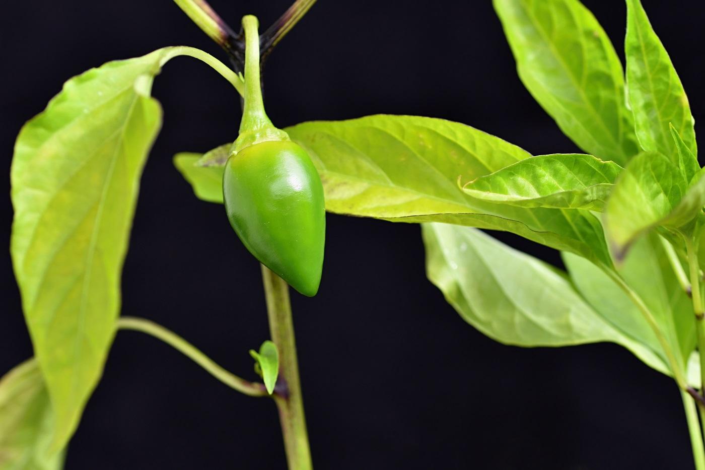 Balkónové chilli papričky